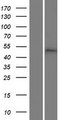 MLIP Protein - Western validation with an anti-DDK antibody * L: Control HEK293 lysate R: Over-expression lysate