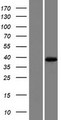 MOGAT1 / MGAT1 Protein - Western validation with an anti-DDK antibody * L: Control HEK293 lysate R: Over-expression lysate
