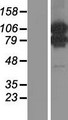 MORC1 Protein - Western validation with an anti-DDK antibody * L: Control HEK293 lysate R: Over-expression lysate