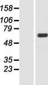 MOX / MOXD1 Protein - Western validation with an anti-DDK antibody * L: Control HEK293 lysate R: Over-expression lysate