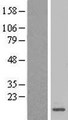MRPL27 Protein - Western validation with an anti-DDK antibody * L: Control HEK293 lysate R: Over-expression lysate