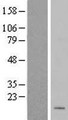 MRPL50 Protein - Western validation with an anti-DDK antibody * L: Control HEK293 lysate R: Over-expression lysate