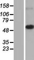 MRPS30 Protein - Western validation with an anti-DDK antibody * L: Control HEK293 lysate R: Over-expression lysate