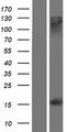 MS4A13 Protein - Western validation with an anti-DDK antibody * L: Control HEK293 lysate R: Over-expression lysate