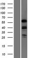 MSL3L1 / MSL3 Protein - Western validation with an anti-DDK antibody * L: Control HEK293 lysate R: Over-expression lysate