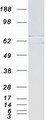 Purified recombinant protein MTA3 was analyzed by SDS-PAGE gel and Coomassie Blue Staining