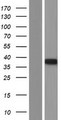 MTG1 / Mitochondrial GTPase 1 Protein - Western validation with an anti-DDK antibody * L: Control HEK293 lysate R: Over-expression lysate