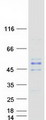 MTG2 / GTPBP5 Protein - Purified recombinant protein MTG2 was analyzed by SDS-PAGE gel and Coomassie Blue Staining