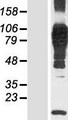 N4BP3 Protein - Western validation with an anti-DDK antibody * L: Control HEK293 lysate R: Over-expression lysate