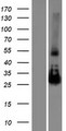 NAA11 / ARD1B Protein - Western validation with an anti-DDK antibody * L: Control HEK293 lysate R: Over-expression lysate