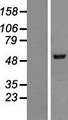 NARS2 Protein - Western validation with an anti-DDK antibody * L: Control HEK293 lysate R: Over-expression lysate