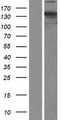 NCAPD2 Protein - Western validation with an anti-DDK antibody * L: Control HEK293 lysate R: Over-expression lysate