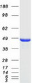 NDRG1 Protein - Purified recombinant protein NDRG1 was analyzed by SDS-PAGE gel and Coomassie Blue Staining