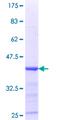 NELFE / RD / RDBP Protein - 12.5% SDS-PAGE Stained with Coomassie Blue.