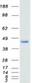 Purified recombinant protein NFE2 was analyzed by SDS-PAGE gel and Coomassie Blue Staining