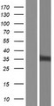 NIPSNAP1 Protein - Western validation with an anti-DDK antibody * L: Control HEK293 lysate R: Over-expression lysate