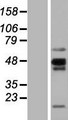 NKAPL Protein - Western validation with an anti-DDK antibody * L: Control HEK293 lysate R: Over-expression lysate