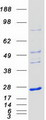 Purified recombinant protein NKIRAS1 was analyzed by SDS-PAGE gel and Coomassie Blue Staining