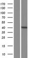 NOXRED1 / C14orf148 Protein - Western validation with an anti-DDK antibody * L: Control HEK293 lysate R: Over-expression lysate