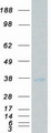 Purified recombinant protein NRBP2 was analyzed by SDS-PAGE gel and Coomassie Blue Staining