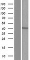 NSDHL Protein - Western validation with an anti-DDK antibody * L: Control HEK293 lysate R: Over-expression lysate