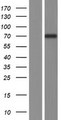 NT5C1B Protein - Western validation with an anti-DDK antibody * L: Control HEK293 lysate R: Over-expression lysate