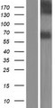 NTN3 / NTN2L Protein - Western validation with an anti-DDK antibody * L: Control HEK293 lysate R: Over-expression lysate