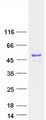 Purified recombinant protein NUCKS1 was analyzed by SDS-PAGE gel and Coomassie Blue Staining