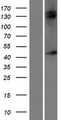 NXF5 Protein - Western validation with an anti-DDK antibody * L: Control HEK293 lysate R: Over-expression lysate