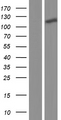 NXP2 / MORC3 Protein - Western validation with an anti-DDK antibody * L: Control HEK293 lysate R: Over-expression lysate