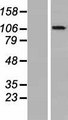 OGDHL Protein - Western validation with an anti-DDK antibody * L: Control HEK293 lysate R: Over-expression lysate