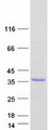 Purified recombinant protein OGFOD2 was analyzed by SDS-PAGE gel and Coomassie Blue Staining