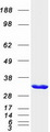 OLAH Protein - Purified recombinant protein OLAH was analyzed by SDS-PAGE gel and Coomassie Blue Staining