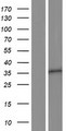 OR10A5 Protein - Western validation with an anti-DDK antibody * L: Control HEK293 lysate R: Over-expression lysate