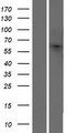 OR10H4 Protein - Western validation with an anti-DDK antibody * L: Control HEK293 lysate R: Over-expression lysate