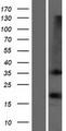 OR1D2 Protein - Western validation with an anti-DDK antibody * L: Control HEK293 lysate R: Over-expression lysate