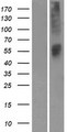 OR52L1 Protein - Western validation with an anti-DDK antibody * L: Control HEK293 lysate R: Over-expression lysate
