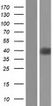OR5C1 Protein - Western validation with an anti-DDK antibody * L: Control HEK293 lysate R: Over-expression lysate