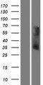 OR6V1 Protein - Western validation with an anti-DDK antibody * L: Control HEK293 lysate R: Over-expression lysate