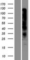 OR7D2 Protein - Western validation with an anti-DDK antibody * L: Control HEK293 lysate R: Over-expression lysate