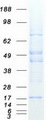 Purified recombinant protein ORMDL2 was analyzed by SDS-PAGE gel and Coomassie Blue Staining