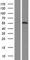 OSBPL2 Protein - Western validation with an anti-DDK antibody * L: Control HEK293 lysate R: Over-expression lysate