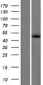 PABPC4L Protein - Western validation with an anti-DDK antibody * L: Control HEK293 lysate R: Over-expression lysate