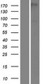 PAMR1 Protein - Western validation with an anti-DDK antibody * L: Control HEK293 lysate R: Over-expression lysate