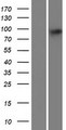 PARP8 Protein - Western validation with an anti-DDK antibody * L: Control HEK293 lysate R: Over-expression lysate