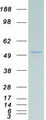 PAX8 Protein - Purified recombinant protein PAX8 was analyzed by SDS-PAGE gel and Coomassie Blue Staining