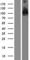 PCDHA5 Protein - Western validation with an anti-DDK antibody * L: Control HEK293 lysate R: Over-expression lysate