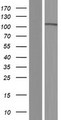 PCDHA7 Protein - Western validation with an anti-DDK antibody * L: Control HEK293 lysate R: Over-expression lysate