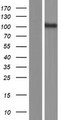 PCDHGA8 Protein - Western validation with an anti-DDK antibody * L: Control HEK293 lysate R: Over-expression lysate