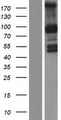PCDHGB1 Protein - Western validation with an anti-DDK antibody * L: Control HEK293 lysate R: Over-expression lysate